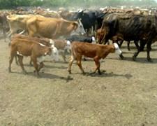 50 Vacas Con Cria Y Prenadas