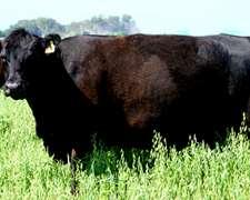 450 Vacas Preñadas Y Paridas