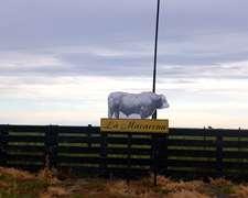 70 Vacas Nuevas En Lobos, Con Toro Permanente