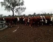 85 Vacas Bfor Vacías P/inseminar