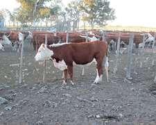 Compro Vacas De Cria Y Invernada En Rio Negro