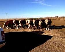 Toros Polled Hereford Con Sanidad Garantizada
