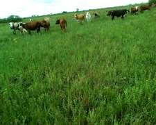 Vendo Vacas Preñadas Y C/cria Oportunidad