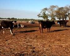 Se Busca Para Alquilar O Compra En Leasing Vacas Para Tambo
