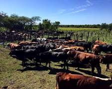 Vendo 30 Vacas Cut Preñadas, Preñadas Grandes Y Ya Pariendo