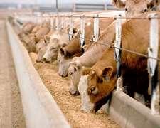 Vendo Animales Al Contado Para Feedlot O Engorde