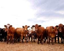 Compro Y Vendo Animales Al Contado Para Feedlot O Engorde