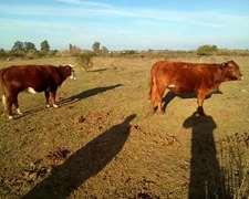 Vendo Vacas Preñadas Nuevas, Segunda Paricion