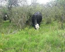 Venta Lote 100 Vacas Aberden Angus Con Cria Y Preñadas