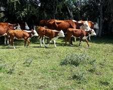 Venta Lote De120 Vacas Con Cria Pampas