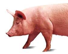 , Cachorras, Cerdos, Genética Porcina, Madres