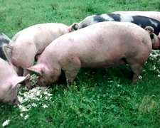 Chancheria:cachorras- Chanchas- Lechones- Padrillos-cerdos