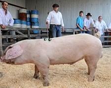Porcinos - Padrillos, Cerdas. Puros, Híbridos