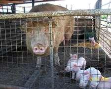 Vendo Lotes De Chanchas Para Cria O Faenar Buenos Animales