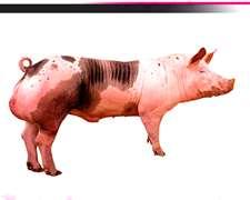 Venta De Semen De Padrillos Pietrain, Inseminación Cerdos,