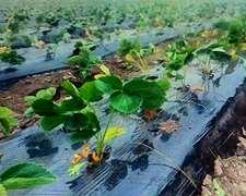 Mulching Plástico Para Cultivos Intensivos