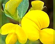 Leguminosas, Lotus, Tenuis Aguapé