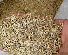 Rye Grass Anual Tetraploide