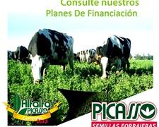 Semillas De Alfalfa Picasso Nacional E Importadas